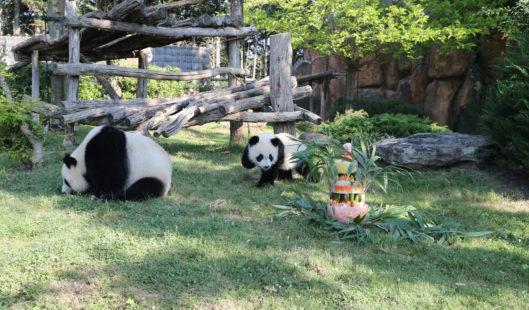 Pandas zoo de beauval - Parenthèse Océan Voyages
